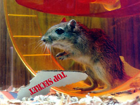 [Photo of Ralph (a gerbil) here]
